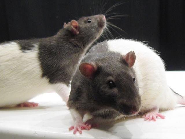 two black and white rats